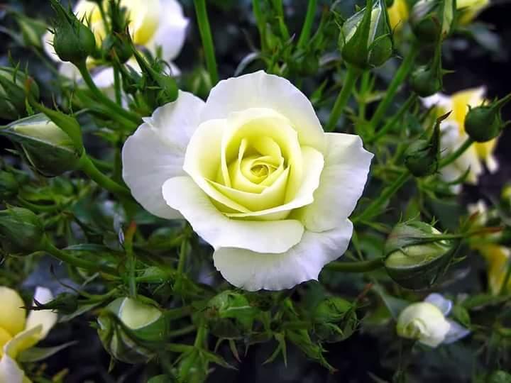 61+ Gambar Bunga Mawar Ada Tulisan Kekinian